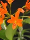 Orchidee: Guarianthe aurantiaca Stockbild