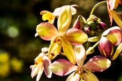 Orchidee im chiangmai Thailand Stockbilder