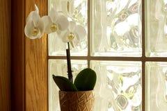 Orchidee im Fenster Stockfoto
