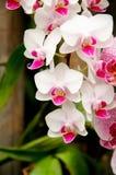 Orchidee im Garten Lizenzfreies Stockfoto