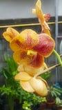 Orchidee im Garten Lizenzfreie Stockbilder