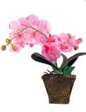 Orchidee im Topf Lizenzfreies Stockfoto