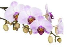 Orchidee isolate su un fondo bianco Immagine Stock