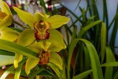 Orchidee kwitną makro- kwiat tropikalne orchidee w szklarni S zdjęcie stock