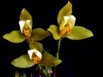 Orchidee: Lycaste deppei Lizenzfreies Stockfoto