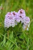 Orchidee macchiate terreno comunale Fotografia Stock
