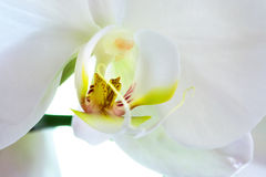 Orchidee-Makro Stockbild