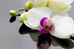 Orchidee met bezinning Stock Foto