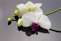 Orchidee met bezinning Royalty-vrije Stock Afbeelding