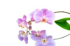 Orchidee met bezinning over witte achtergrond Royalty-vrije Stock Foto