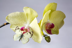 Orchidee met vlinder Stock Foto