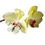 Orchidee met vlinder Stock Afbeelding