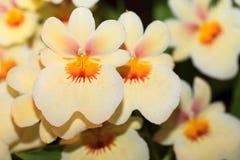 Orchidee Miltonia royalty-vrije stock fotografie