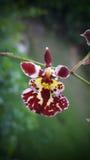 Orchidee mini dichte omhooggaand Royalty-vrije Stock Afbeeldingen