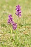 Orchidee minste, anacamptismorio Royalty-vrije Stock Afbeelding