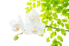 Orchidee mit dem Blattfarn, lokalisiert auf Weißrückseite Lizenzfreies Stockbild