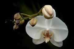 Orchidee mit den Knospen Lizenzfreie Stockfotos
