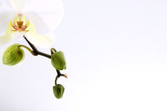Orchidee mit den Knospen schließen oben Lizenzfreies Stockbild