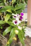 Orchidee mit den weißen Blumenblättern und Purpur u. x28; vertical& x29; Stockfotos