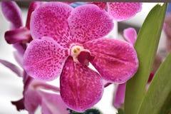 Orchidee mit Laub Stockfoto