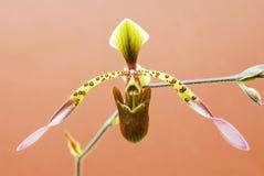 Orchidee mit Tasche und dem langen Blumenblatt Stockbild