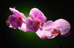 Orchidee mit waaterdrops Stockfotos