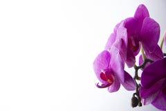 Orchidee na Biały Tle Zdjęcie Stock