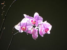 Orchidee in nadruk Royalty-vrije Stock Afbeelding