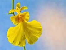 Orchidee: Oncidium Varicosum Royalty-vrije Stock Fotografie