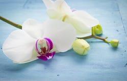 Orchidee op Blauw Stock Afbeeldingen