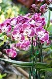 Orchidee op de tuinachtergrond Stock Foto's