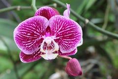 Orchidee op de tuinachtergrond Stock Fotografie