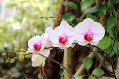 Orchidee op de tuinachtergrond Stock Afbeelding