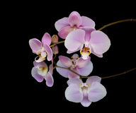 Orchidee op een zwarte achtergrond met bezinning Royalty-vrije Stock Foto