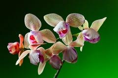 Orchidee op groene achtergrond Stock Foto