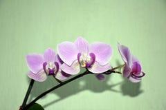 Orchidee op groene achtergrond stock fotografie
