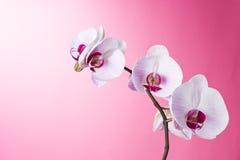 Orchidee op Roze Royalty-vrije Stock Foto's
