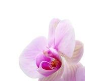 Orchidee op wit royalty-vrije stock fotografie