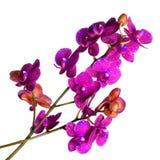 Orchidee op wit stock afbeelding
