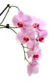 Orchidee op Wit stock fotografie