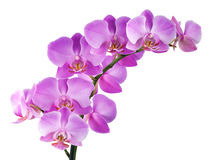 Orchidee op wit Stock Foto