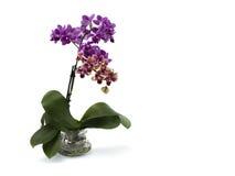 Orchidee op witte achtergrond Stock Afbeeldingen