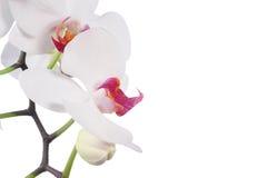 Orchidee op witte achtergrond wordt geïsoleerdo die royalty-vrije stock foto