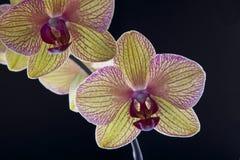 Orchidee op zwarte Royalty-vrije Stock Afbeeldingen
