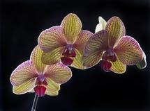 Orchidee op zwarte Royalty-vrije Stock Afbeelding