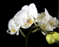 Orchidee op zwarte #3 Royalty-vrije Stock Afbeeldingen