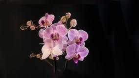 Orchidee op Zwarte Achtergrond stock foto's