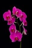 Orchidee op Zwarte Achtergrond Stock Foto