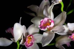 Orchidee op Zwarte Achtergrond Stock Afbeelding
