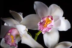 Orchidee op Zwarte Achtergrond Stock Afbeeldingen